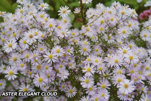 Ecological planting design _ dirk de winter _ new generations plants _ kwekerij de morgen Aster 'Elegant Cloud'