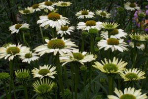 Ecological planting design _ dirk de winter _ new generations plants _ kwekerij de morgen Echinacea purpurea Alaska
