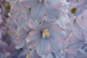 Ecological planting design _ dirk de winter _ new generations plants _ kwekerij de morgen Delphinium elatum Wedgewood