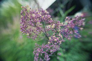 Ecological planting design _ dirk de winter _ new generations plants _ kwekerij de morgen Thalictrum Anne