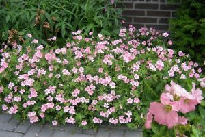 Ecological planting design _ dirk de winter _ new generations plants _ kwekerij de morgen Geranium oxonianum 'Sweet Candy'