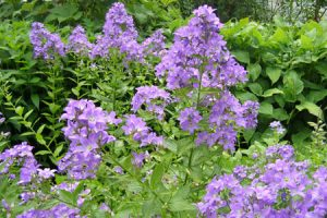 Ecological planting design _ dirk de winter _ new generations plants _ kwekerij de morgen Campanula lactiflora Borderblues ™ 'Madiwiho'