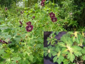 Ecological planting design _ dirk de winter _ new generations plants _ kwekerij de morgen Geranium phaeum Shadowlight ™ 'Dimawiho'