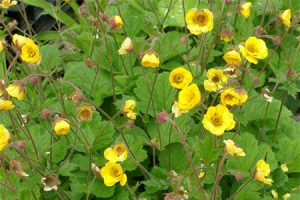 Ecological planting design _ dirk de winter _ new generations plants _ kwekerij de morgen Geum Mornings Hybrid ™